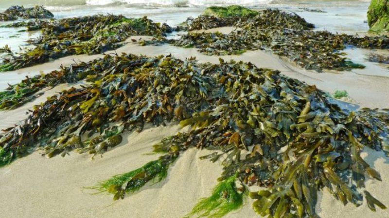 plástico de algas