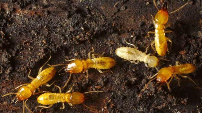 Las termitas más dañina del mundo fue descubierta en Israel