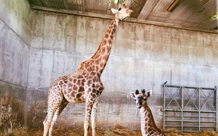 El zoológico bíblico de Jerusalén da la bienvenida a una nueva jirafa bebé